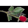 ruža - Pflanzen -