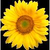 suncokret sunflower - Rośliny -