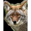 wolf - Zwierzęta -