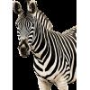 zebra - Zwierzęta -