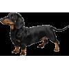 weiner dog  - Animals -