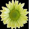 yellow green daisy flower - Rastline -