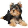 yorkie dog - Animals -