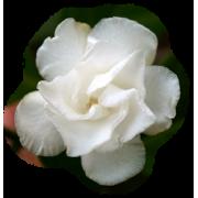 Flower Cvijet - Plants -