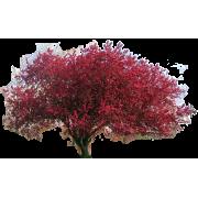 Dogwood Tree - Plants -