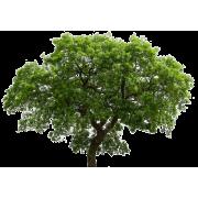 English Oak Tree - Plants -