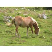 Konj - 动物 -