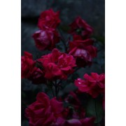 Red Flowers  - Background -