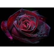 Red Rose - Background -