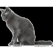 Russian blue cat - Animals -