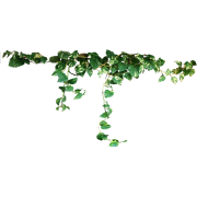 Vines - Plants -