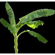 palm - Natural -