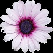 purple flower rain - Plantas -