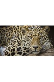 Leopard Portrait - Moje fotografie -