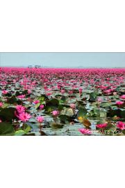 Lotus flowers - My photos -