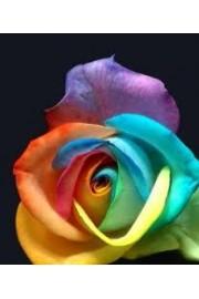 Rose - 相册 -