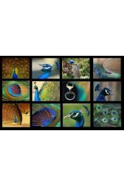 Peacock - Moje fotografije -